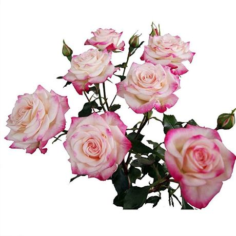 кустовая роза рефлекс фото